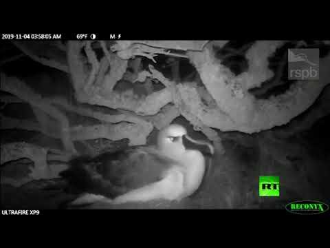 عصابات فئران تهاجم طيور القطرس البالغة في المحيط الأطلسي