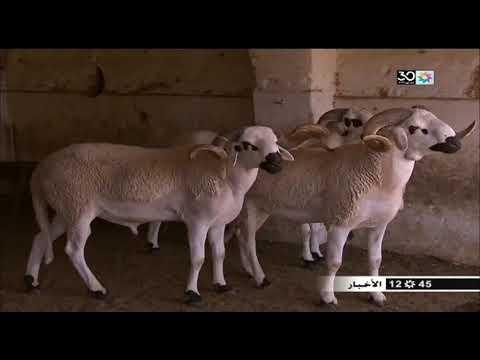 شاهد مغاربة يبيعون أضاحي العيد عبر الإنترنت بعيدًا عن الوسطاء