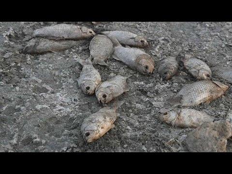 شاهد الجفاف يتسبب بنفوق عشرات الآلاف من الأسماك في بحيرة باليونان