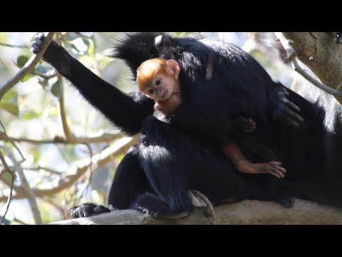 لحظة ولادة قرد ينتمي إلى فصيلة نادرة جدًا في أستراليا
