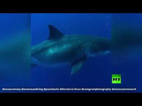 تجربة خطيرة بالسباحة قرب أكبر قرش في العالم
