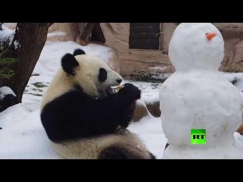باندا تتعرف على رجل الثلج في حديقة موسكو للحيوان