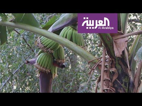 قرية سعودية تنتج أغلى موز في المنطقة