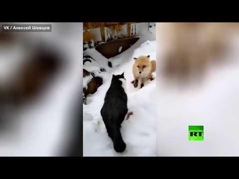صراع من أجل البقاء ثعلب وقطة وقطعة سجق