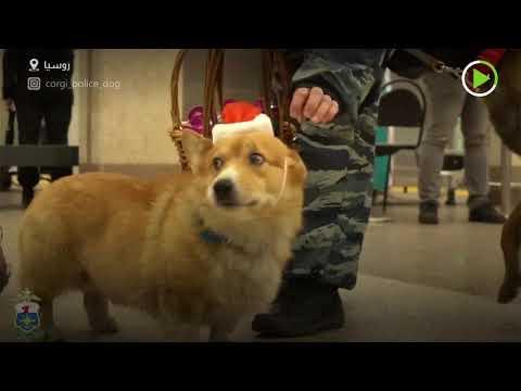 شاهد كلب كورغي يخدم لدى الشرطة الروسية
