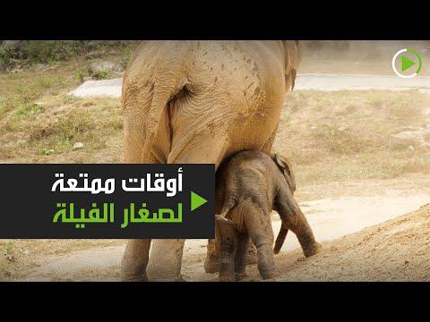 شاهد أوقات ممتعة لصغار الفيلة